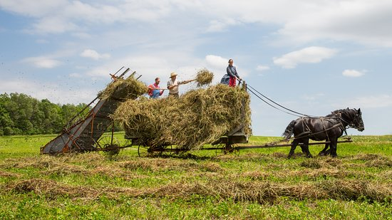 Living History Farms: Farmers and draft horses work in the fields at the 1900 era Farm.