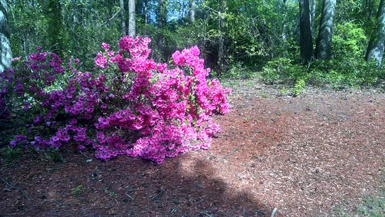 Augusta, GA: Azalea bush