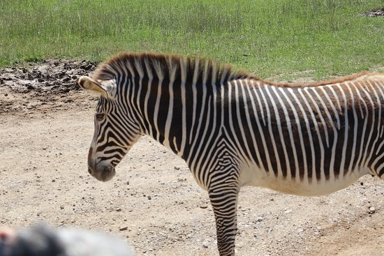 The Wilds: Zebra right by our bus