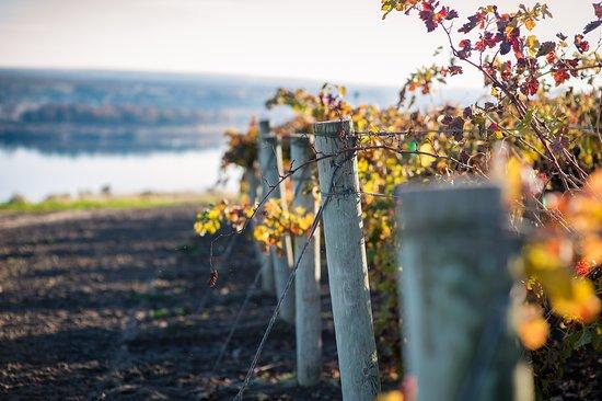 Yakima, WA: Fall vines  (photo by Kim Fetrow)