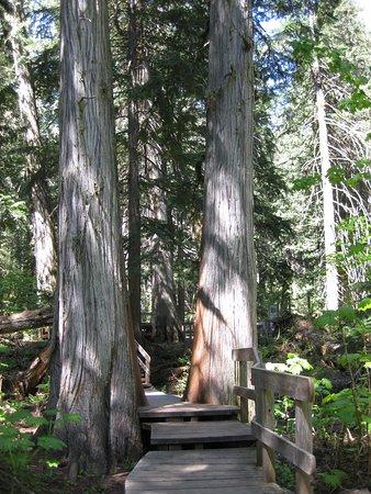 Giant Cedars Boardwalk Trail: cedar broadwalk