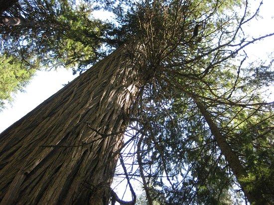 Giant Cedars Boardwalk Trail: cedar