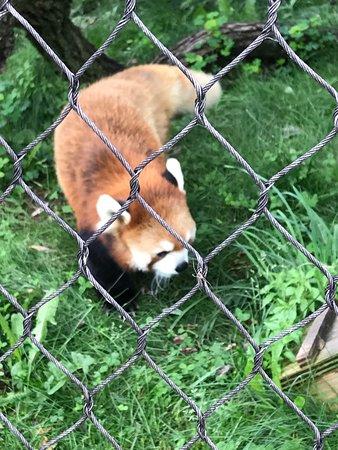 Madison, WI: Great Red Panda Exhibit!