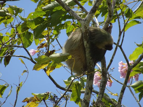 Cano Negro, Costa Rica: Sighting of 2-toed sloth high in a tree perch