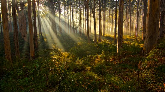 Margaret River, Australia: Sunrise in the Boranup Karri Forest