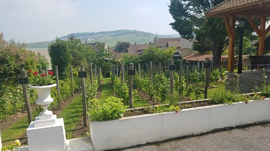 Epernay, Francja: A small selection of various vines in their front area.
