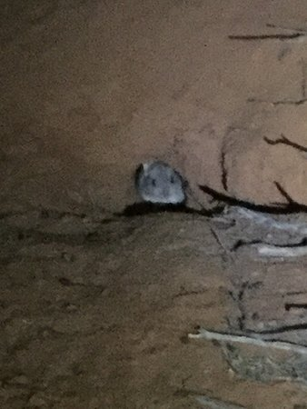 Roxby Downs, Austrália: Bettong In its burrow