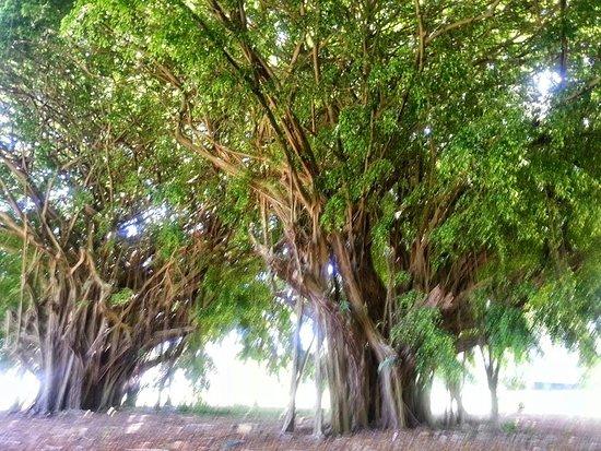 Liliuokalani Gardens: The vegetation is exceptional.