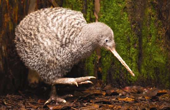 Otorohanga, New Zealand: A Great Spotted Kiwi is often on display in one of our Kiwi Night Zone enclosures.