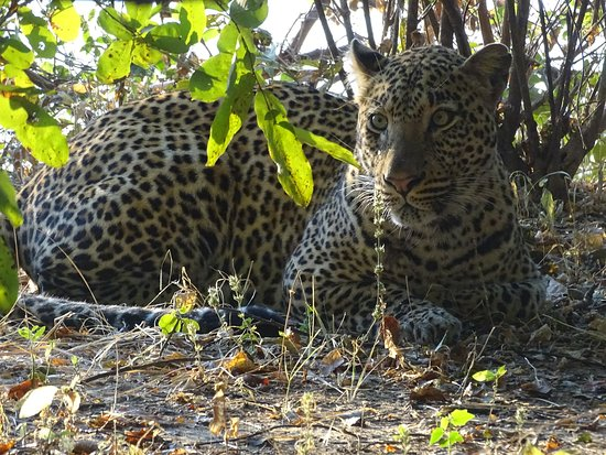 Livingstone, Zambia: leopard South Luangwa National Park