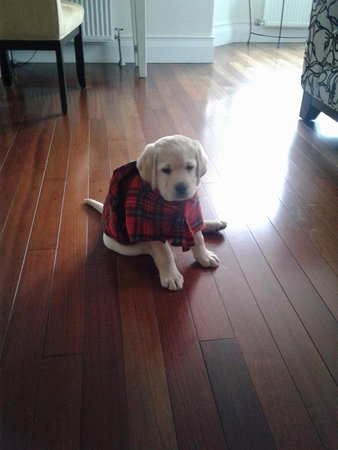 The Wellshire Bed and Breakfast: Baxter yellow lab at 8 weeks