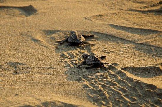 Sortie de la tortue de mer bébé Ixtapa