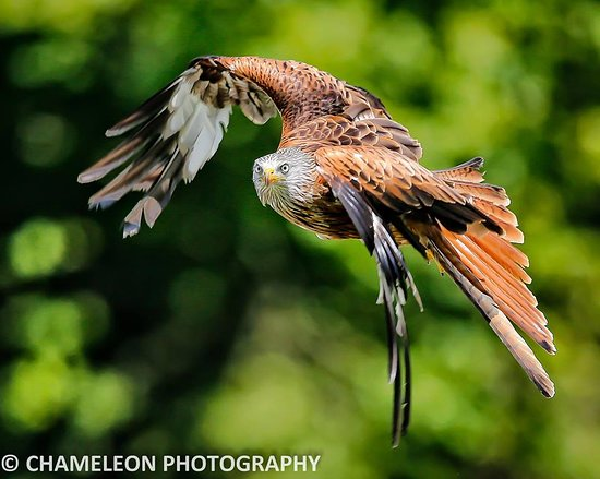 Carmarthen, UK : Scarlet - red kite