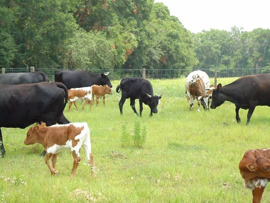 """Newberry, FL: Dudley Farm """"Cracker"""" cows are originally an old Spanish breed."""