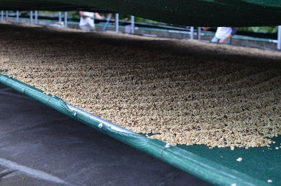 Santa Maria, Costa Rica: Sundried coffee in greenhouse