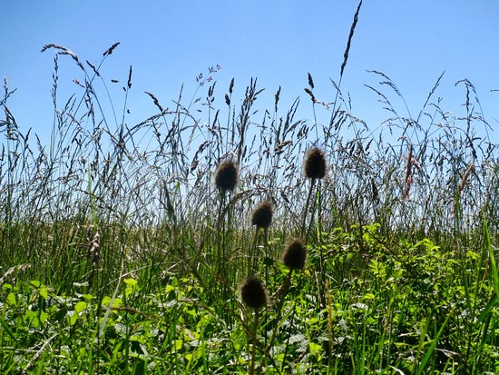 Fiskerton, UK: Teasels and grasses