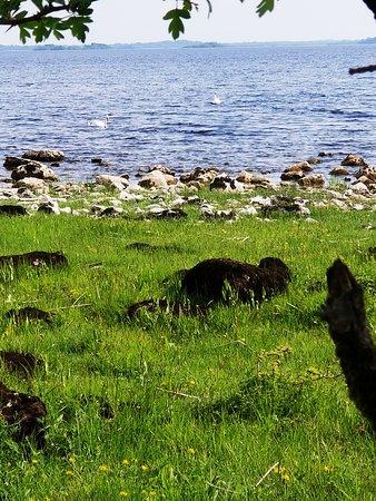 Lecarrow, Irlanda: More swans