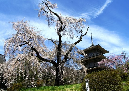 Josen-ji Temple Weeping Cherry Blossom