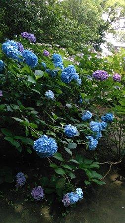 Hayama-machi, Japão: 紫陽花公園のしゃしん