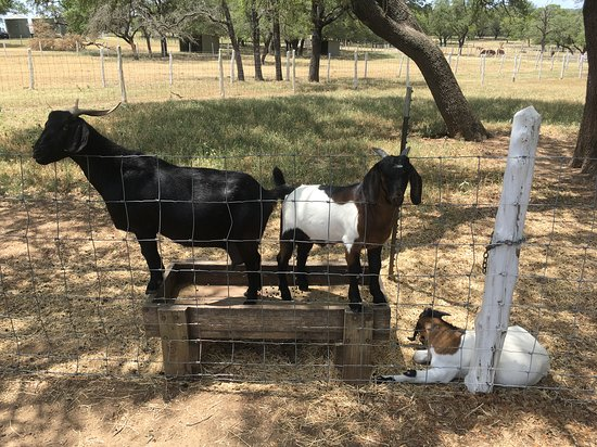 Lyndon B. Johnson National Historical Park: Goats were cute.