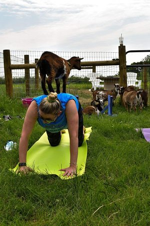 Cool Hollow Goat Yoga