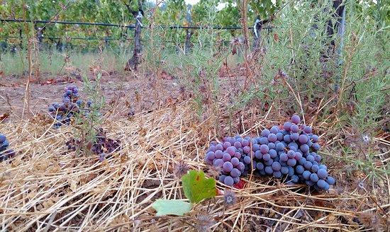La Vie Dansante Wines: Only the best grapes make it through harvest.