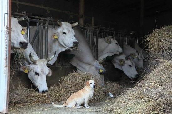 Agriturismo Biologico Colle San Giorgio: Mucche