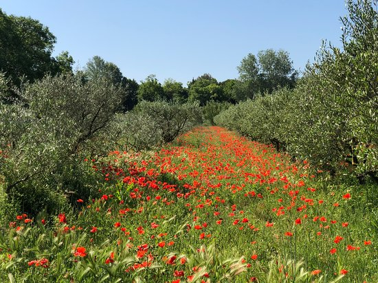 Château de Roussan: Olives and poppies