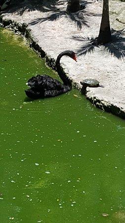Hopp over linjen: Ardastra Gardens, Zoo & Conservation Center Admission Ticket: swan taking on turtle
