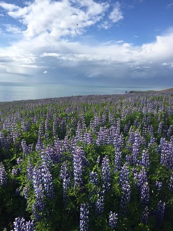 Nordic Visitor Tours: Lupine everywhere!