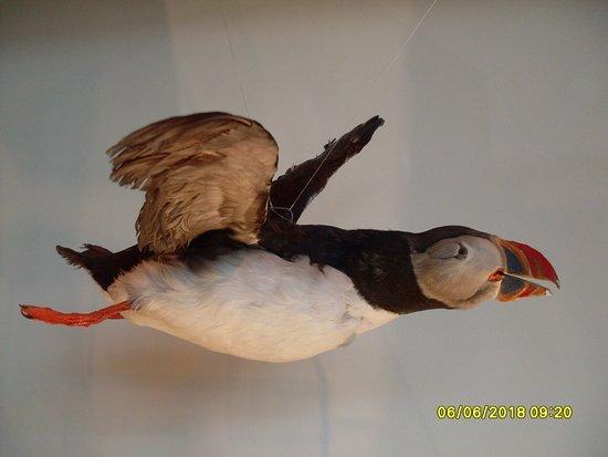 Natural History Museum of Kopavogur: Well preserved puffin specimen
