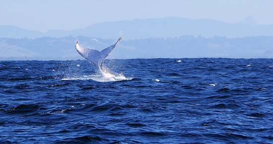 Premier Whale Watching Byron Bay: There were plenty flukes on show too