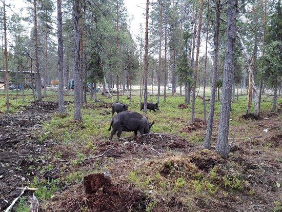 Muonio, Finlandia: IMG-20180624-WA0000_large.jpg