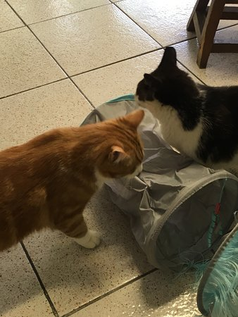 Torre Argentina Cat Sanctuary: Cats investigating the toy we brought them