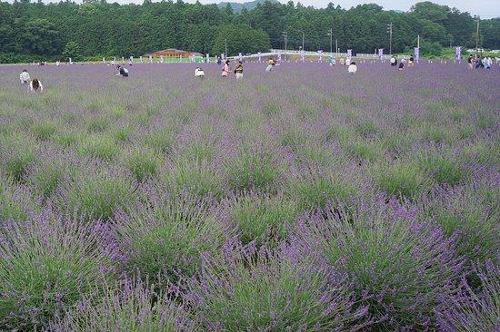 Ranzanmachi Sennen no Sono Lavender Field: 今が見ごろです。