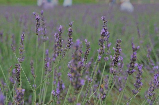Ranzanmachi Sennen no Sono Lavender Field: ラベンダーのから香りが心地よい
