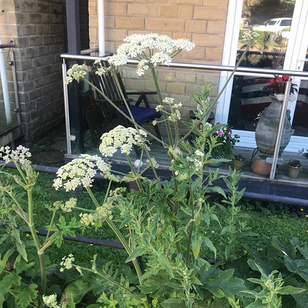 Mytholmroyd, UK: GIANT HOGWEED. Beware of these plants, theres a lot on the canal bank at the moment, causes seri