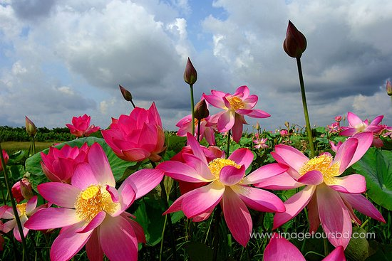 سيلهيت, بنجلاديش: Lotus flower at haor, Sylhet, Bangladesh.