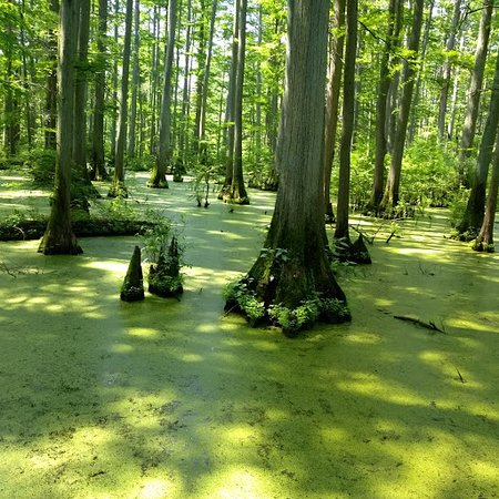 Vienna, Илинойс: Heron Pond with Bald Cypress Trees and Duck Weed
