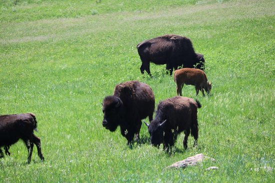 Fort Hays Old West Town and Dinner Show: Bisons
