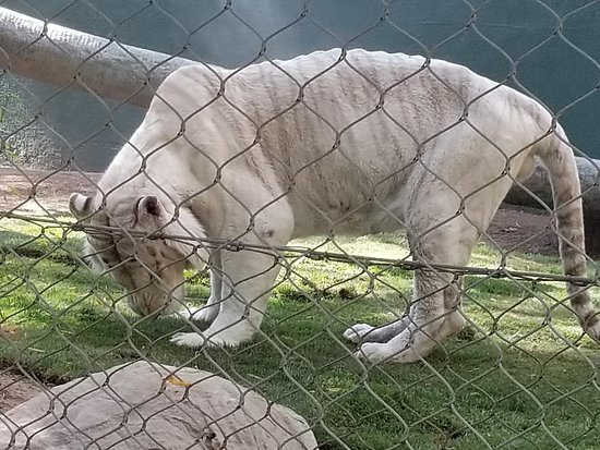Siegfried & Roy's Secret Garden and Dolphin Habitat: Looked sick, could barely walk