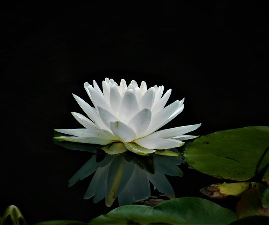 Gibbs Gardens: water lily