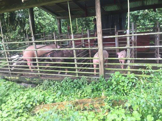 La Carolina Lodge: PIG FARM