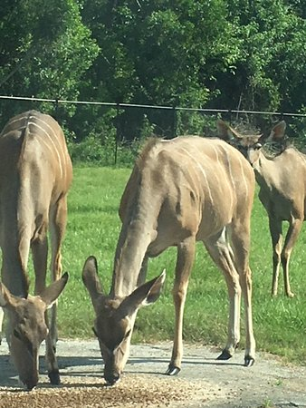 Loxahatchee, FL: deer