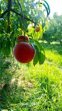 Dover, AR: Peaches