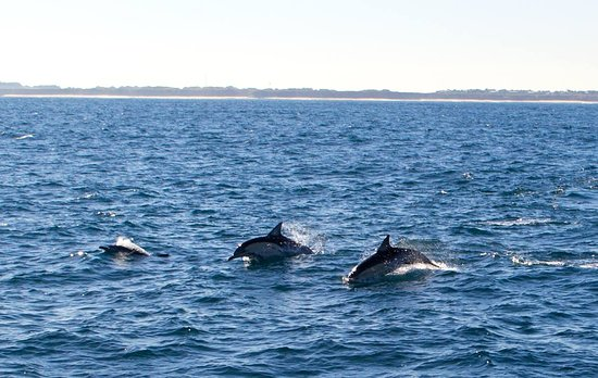 Phillip Island Whale Watching Tour: Dolphins