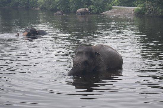 African Lion Safari: Elephants Swim