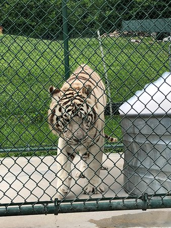 Fairfield, PA: White lion