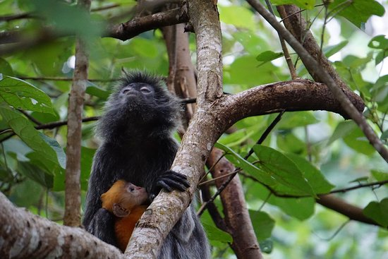 Sarawak, Malaisie : Getting up close to a Silver Leaf Langur and her infant at Bako with Borneo Ethical Adventures