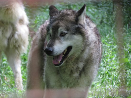 Penns Creek, Pensilvania: One of many wolves and wolf hybrids at T&D's. These animals make bad pets!